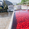 Record-Eagle/Keith King<br /> David Weatherholt, owner and operator of Weatherholt Farms, uses a forklift to move a tank of tart cherries onto a trailer so that the cherries can be taken to be processed.