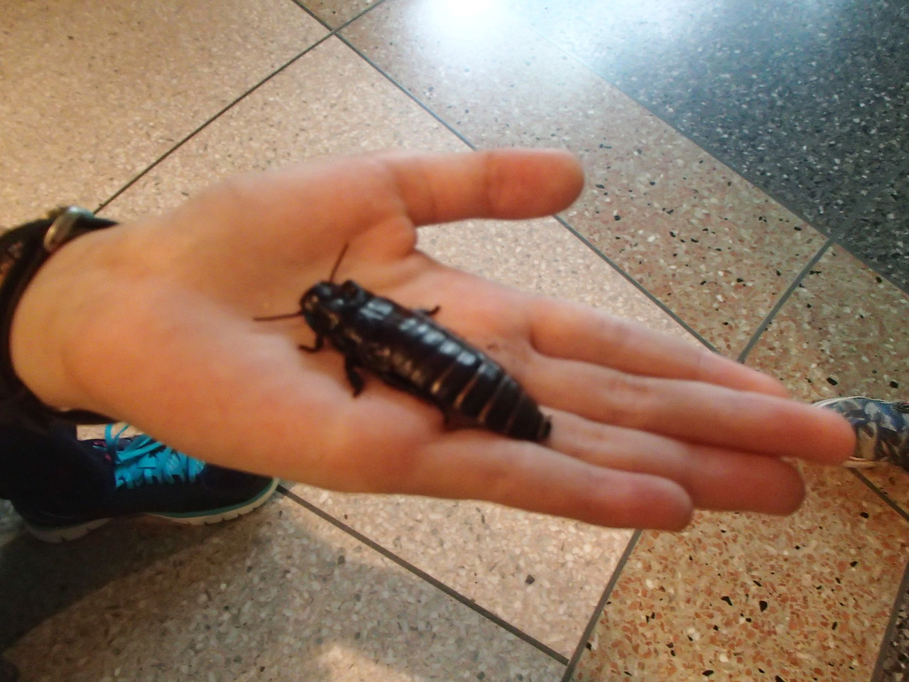 Hissing Roach out on display