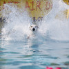 Record-Eagle/Keith King<br /> A dog lands in a pool during the National Cherry Festival Ultimate Air Dogs competition.