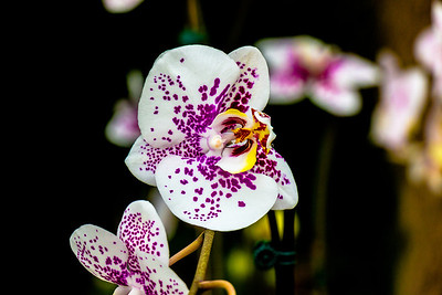 Nicholas Conservatory 2014 Orchid Show