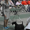 Best of Winners  at Scottish Terrier Club of Michigan Specialty