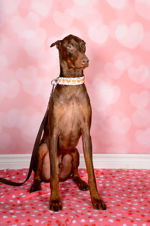Genesis Dog Rescue Valentine's Photo Shoot 2014