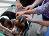 Seven-week-old basset hounds Ebony and Major draw a lot of attention from both children and adults as their owner, Ed Piszek, wheels them along Butler Ave. during Ambler Arts and Music Festival Saturday, June 13, 2015.<br /> Bob Raines--Montgomery Media