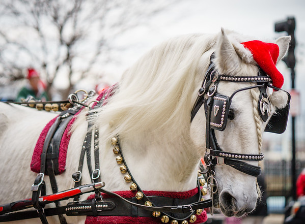 Carriage horse in the parade