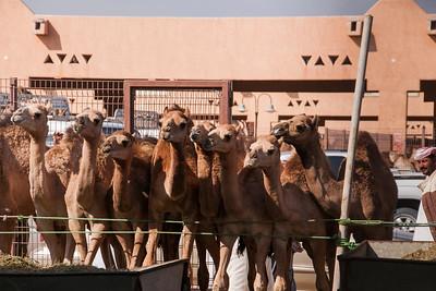 Camel market in oasis Al Ain
