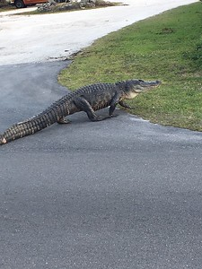Alligator crossing - literally - on way to dinner at the Mad Hatter