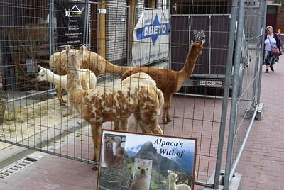 Alpaca's met vlekjes...