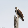 Orli the Lido Marine Conservation Are Osprey on post1 April 25, 2016