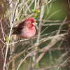 Backyard Purple Finch male April 15, 2016