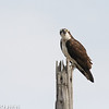 Orli the Lido Marine Conservation Are Osprey calling April 25, 2016