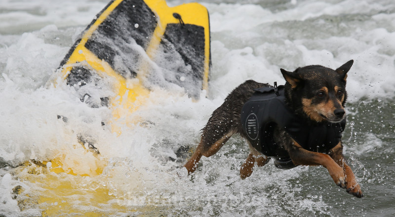 8/5/17: Abbie leaps off her board towards shore during the 2017 World Dog Surfing Championships at Pacifica State Beach in Pacifica, Ca by Chris M. Leung