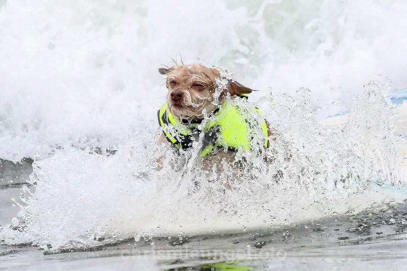 8/5/17: Boo braves the sprays during the 2017 World Dog Surfing Championships at Pacifica State Beach in Pacifica, Ca by Chris M. Leung