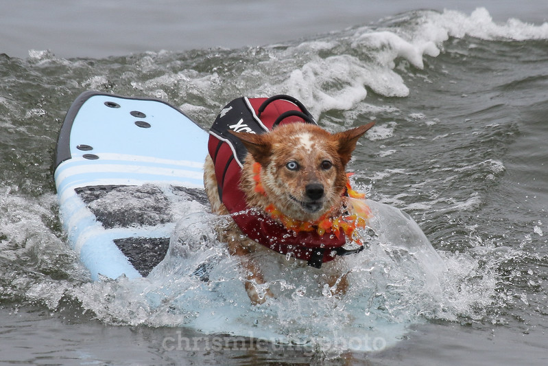 8/5/17: Skyler the Surf Dog at the 2017 World Dog Surfing Championships at Pacifica State Beach in Pacifica, Ca by Chris M. Leung