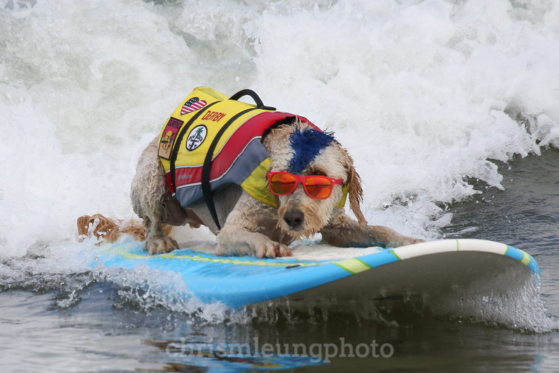 8/5/17: Derby surfs at the 2017 World Dog Surfing Championships at Pacifica State Beach in Pacifica, Ca by Chris M. Leung
