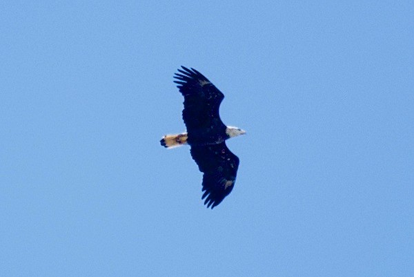 What a beautiful day! Even this bald eagle swooped in for a view of all the fun. Photo by Scott Fraser