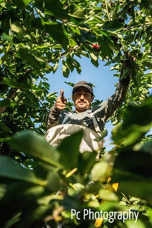 Orchard Crews