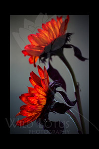 Electric Sunflowers  Flower pictured :: Sunflowers  022512_002443 ICC adobe 16in x 24in pic