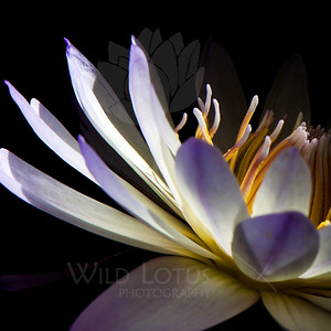 Dragonfly  Flower pictured :: Waterlily  Flower provided by :: Emery Gardens  083113_000885 ICC sRGB 24x24 pic