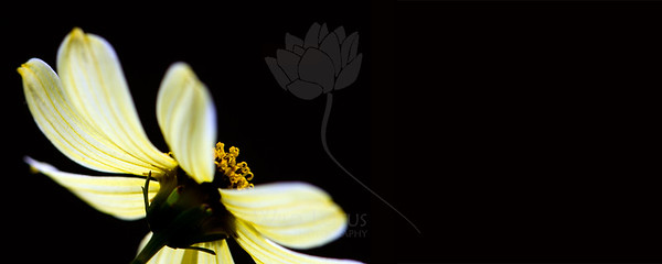 Flower pictured :: Daisy  Flower provided by :: Tagawa Gardens  080413_000243 ICC sRGB 16x40 pic
