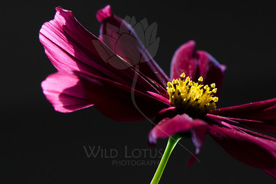 Flower pictured :: Cosmos  Flower provided by :: Tagawa Gardens  062114_004691 ICC sRGB 16x24 pic