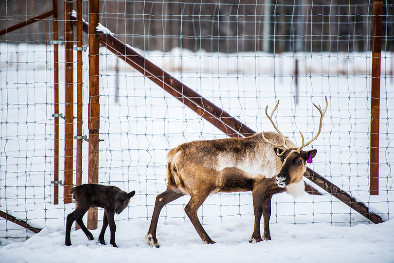 The first Reindeer calve of the year follows its mother at the Experimental Farm on Apr. 7, 2017. The calve was born on the fifth of April.