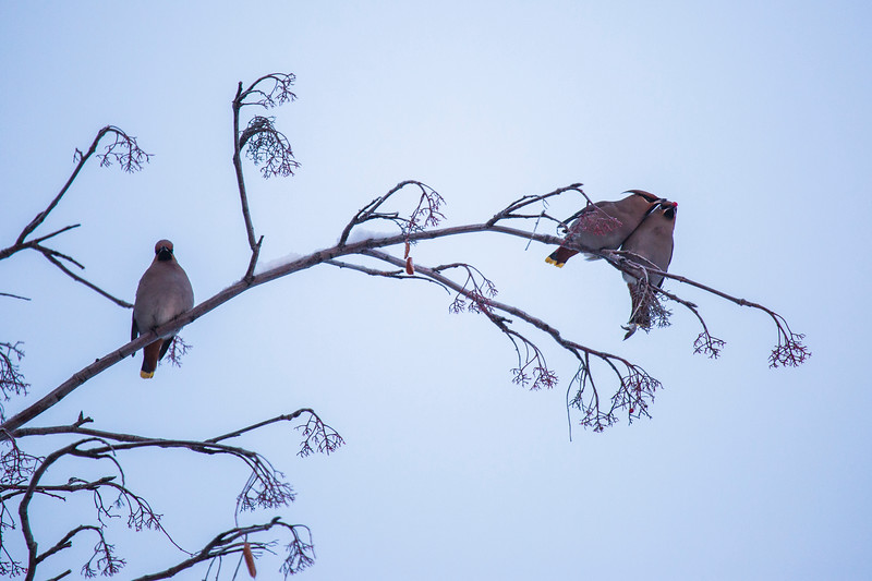 Bohemian waxwings eat berries in front of the Chapman Building on the Fairbanks Campus.