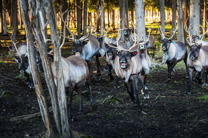 """Rindeer run around an enclosement at the Fairbanks Experiment Farm during the """"Know Your Reindeer"""" centennial event on campus Sunday, Oct. 1."""