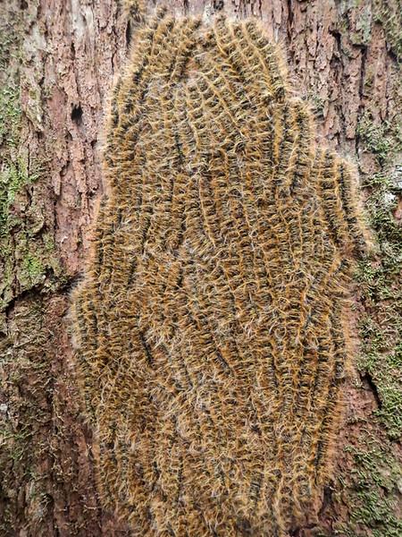 Caterpillar cluster