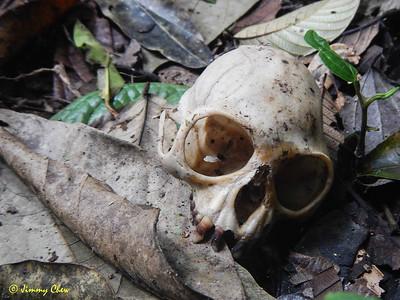 Monkey skull.