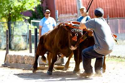 Berwick Gala Days Ox Pull Competition