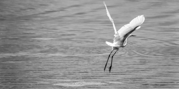 9-2-2018 245/365 A white egret takes off out of a small farm pond south of Monroe, NE Sunday afternoon after filling its belly up with fish.  Photo taken with a Sony A9 with a Sony FE 100-400 ISO 640 1/1000th at F11 (147634)