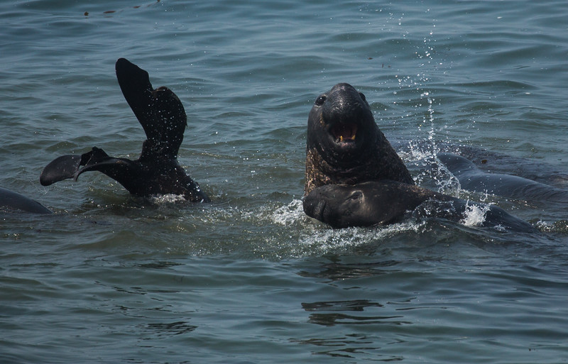 Smile!!!!!! Elephant Seals along PCH in CA