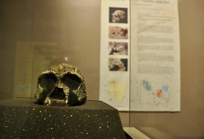Home erectus - female skull