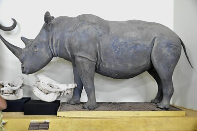 Rhino skull and replica