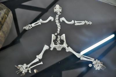 Leopard tortoise - skeleton