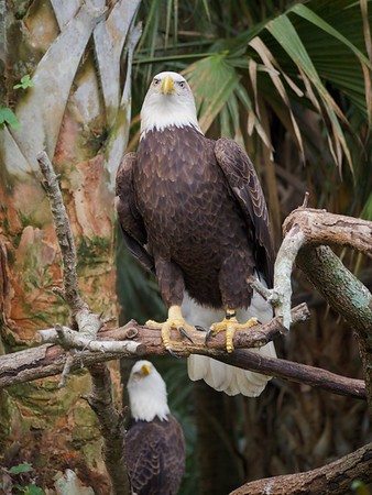 Two Bald Eagles perched