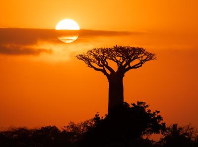 Madagascar Baobab Tree at Sunrise