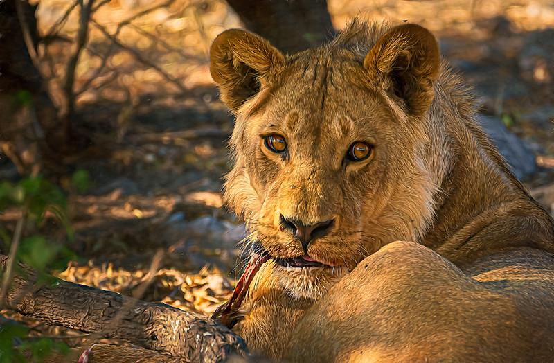 Lion breakfast in Botswana
