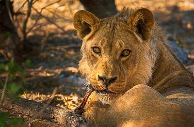 Lion breakfast in Botswana!