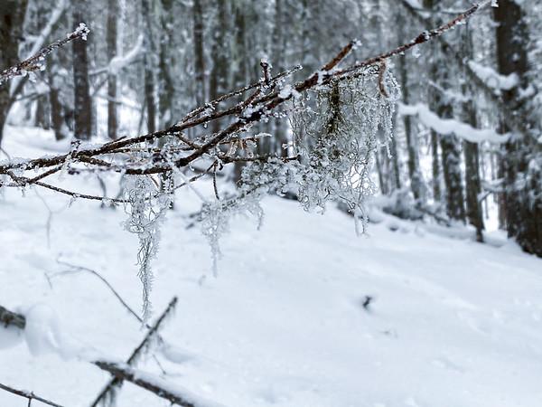 Frost on Moss on Tronsen Meadow