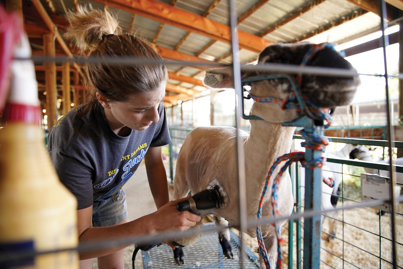 Matthew Gaston | The Sheridan Press <br /> Tamica Smith shaves her sheep Daisy early in the morning at the Sheridan County Fair Friday, July 31, 2020.