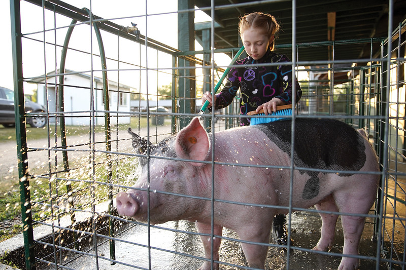 Matthew Gaston | The Sheridan Press   <br /> Brynlee Wohlers, 9, gives Peaches a bath before the swine show at the Sheridan County Fair Thursday, July 30, 2020.
