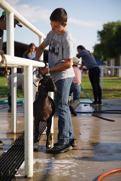 Matthew Gaston | The Sheridan Press <br /> Jacob Brown, 14, unties his goat after washing and drying him at the Sheridan County Fair Friday, July 31, 2020.