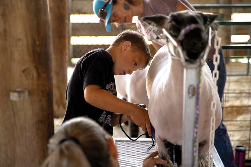 Matthew Gaston | The Sheridan Press <br /> Ty Watkins, 8, carefully trims the wool on his sheeps legs in preparation for the sheep showmanship competition at the Sheridan County Fair Friday, July 31, 2020.