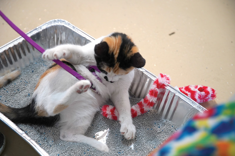 Matthew Gaston | The Sheridan Press   <br /> Jasmin the kitten plays in a litter box during the cat show at the Sheridan County Fair Wednesday, July 29, 2020.