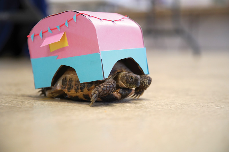 Matthew Gaston | The Sheridan Press   <br /> Laura Alliot's Russian tortoise, Sheldon, dressed as an RV for the costume portion of the pocket pets competition Wednesday, July 29, 2020.