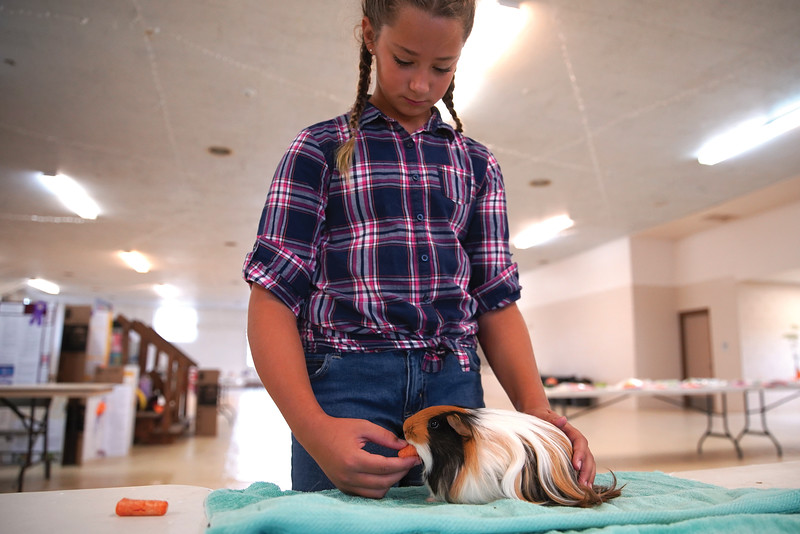 Matthew Gaston | The Sheridan Press   <br /> Eleven-year-old Avery Nikirk feeds her guinea pig, Smores, a carrott before the judging starts at the Sheridan County Fair pocket pets show Wednesday, July 29, 2020.