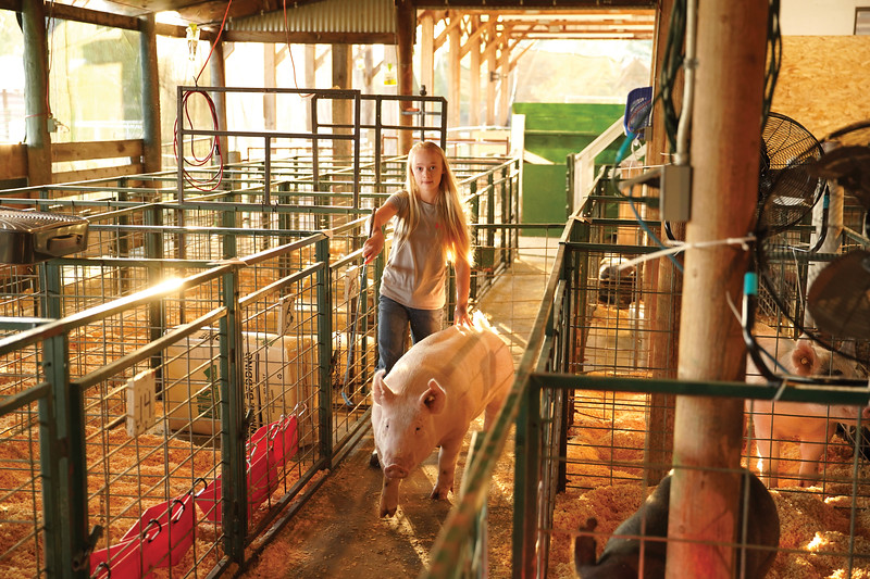 Matthew Gaston | The Sheridan Press   <br /> Ella Hiller, 12, guides her pig Tootsie to the scales to be weighed before the swine show and market at the Sheridan County Fair Thursday, July 30, 2020.
