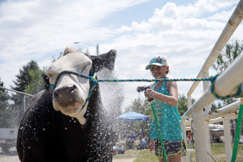 Matthew Gaston | The Sheridan Press <br /> Chloie Wardell, 11, hoses down her cow, Lucky, to help him cool off after winning third place in the market beef competition at the Sheridan County Fair Saturday, Aug. 1, 2020.