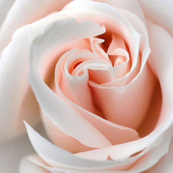 20th Wedding Anniversary Roses